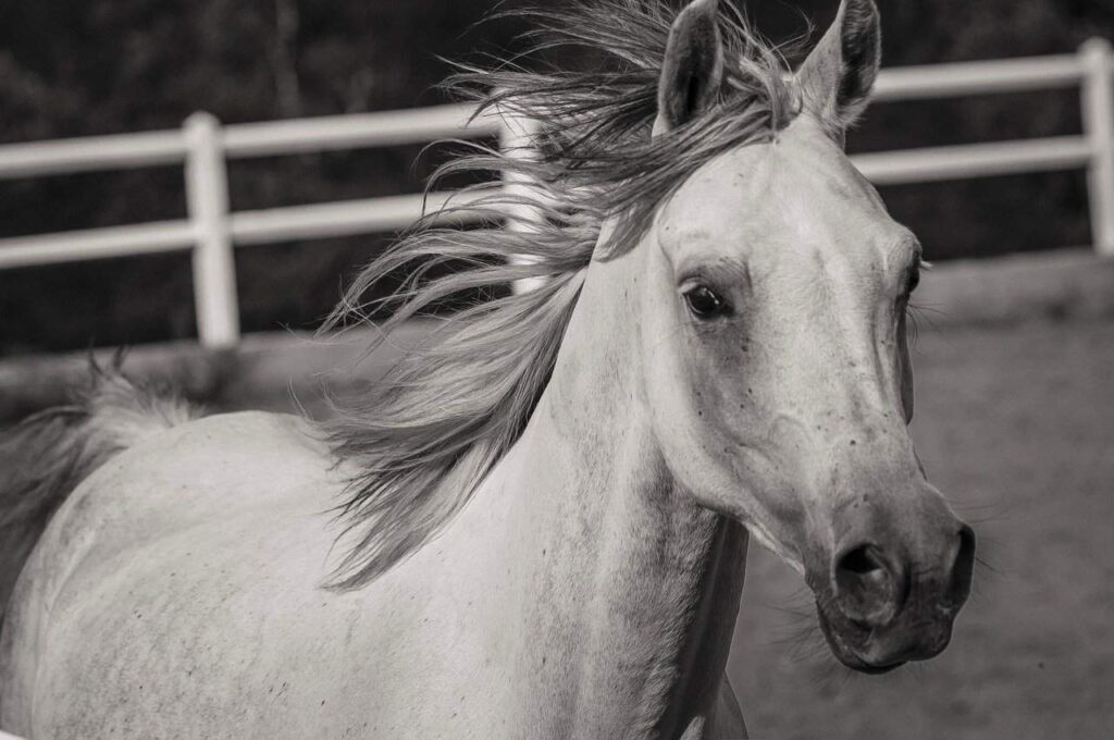 white horse breed