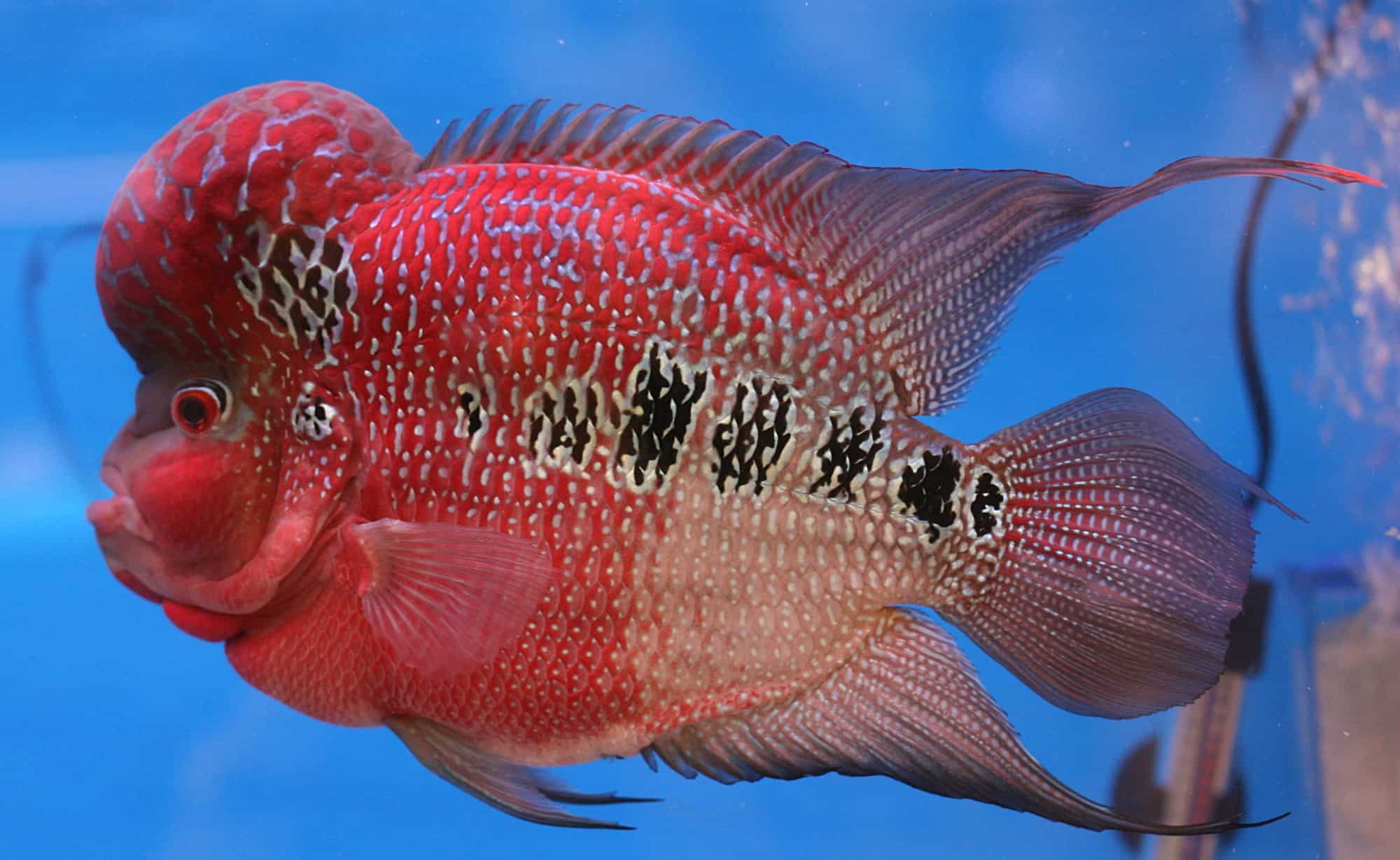 Basic Introduction to the 5 Types of Flowerhorns