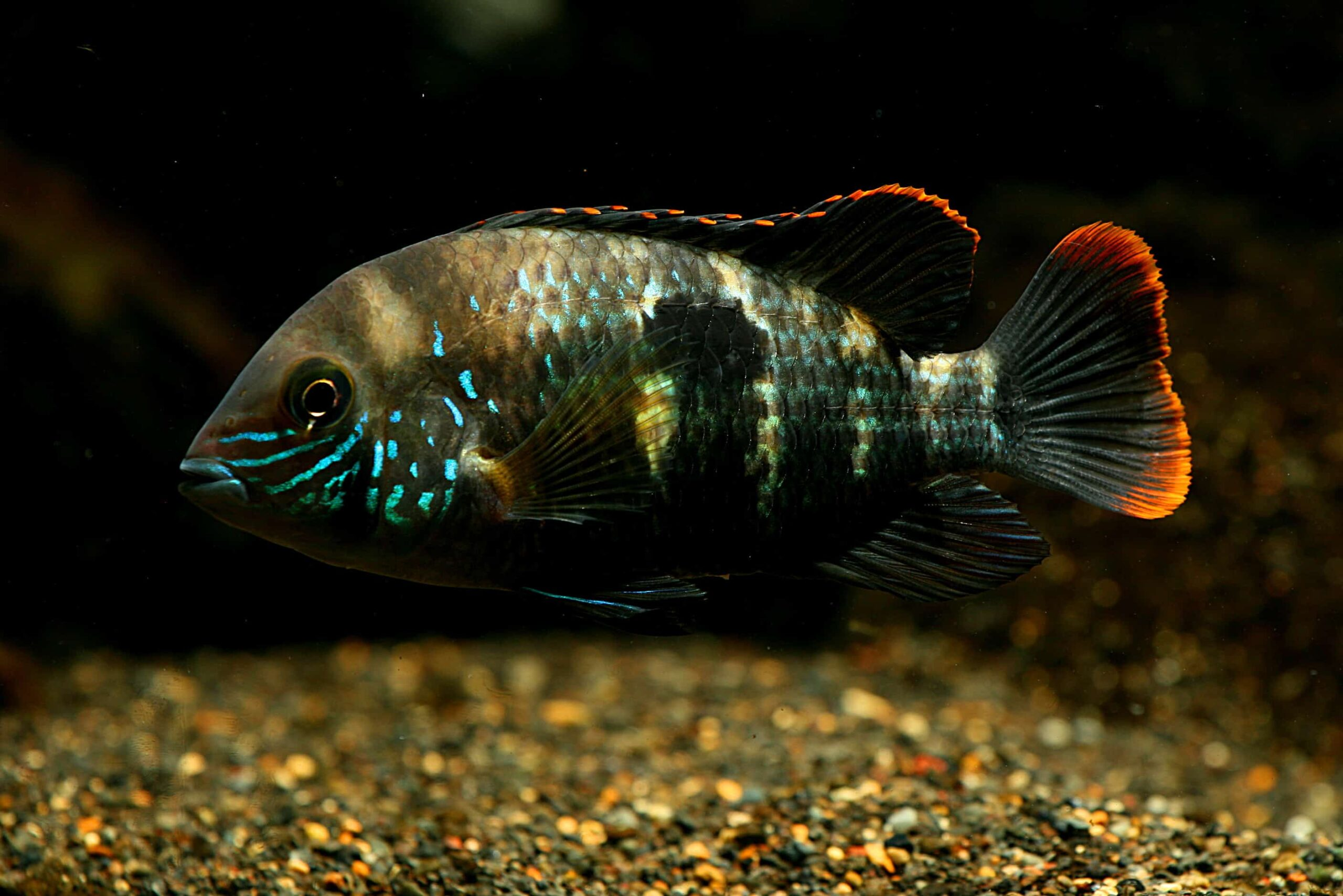 Basic Info to Beginners About the Green Terror Fish