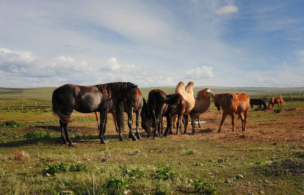 horses-camel