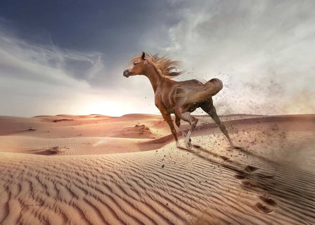 What Are Arabian Horses Used For? (Answered!)