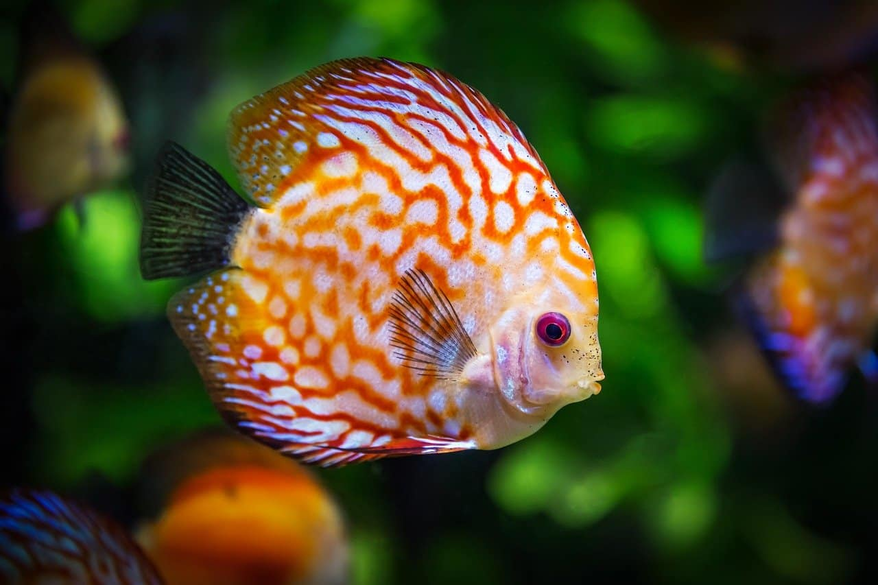 10 Basic Things You Need to Know about the Discus Fish
