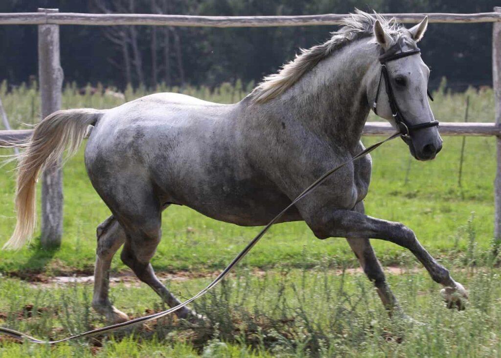 grey-horses