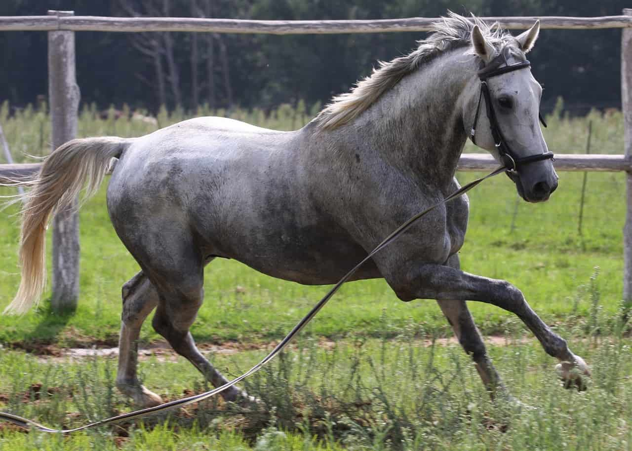 Grey Horses: 15 Things You Should Know