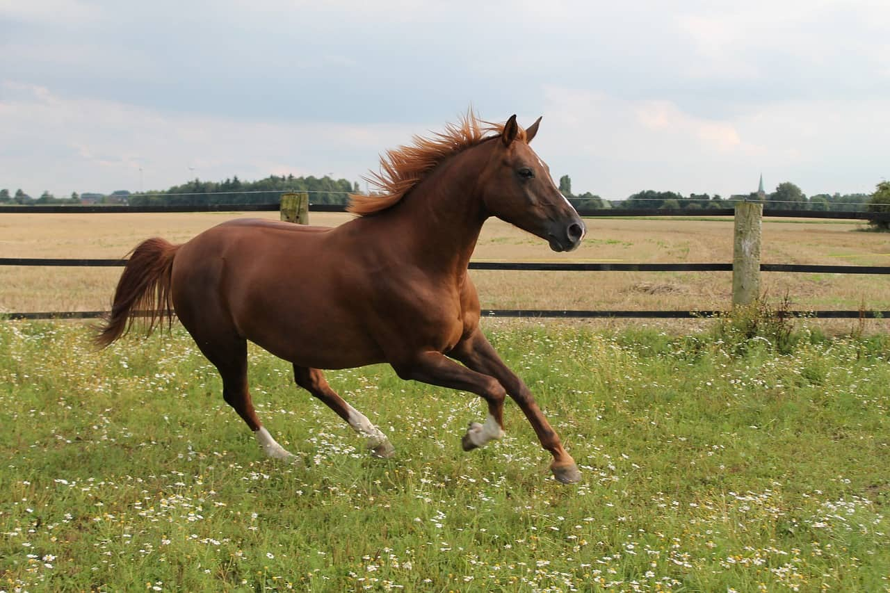 Gaited Horses Or Not? 27 Horse Breeds Checked
