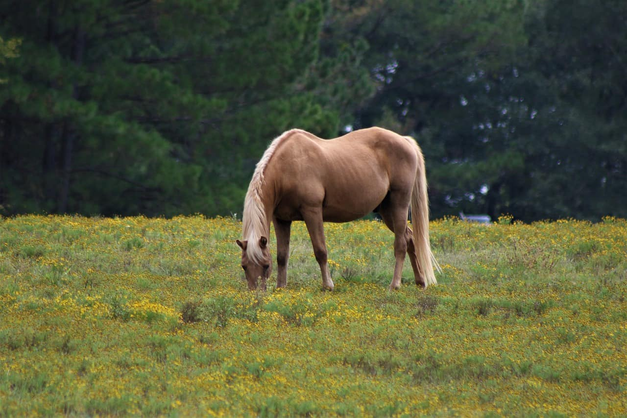 Buckskin Horses: Facts, Life Span, Price, Speed, Uses & Breeds