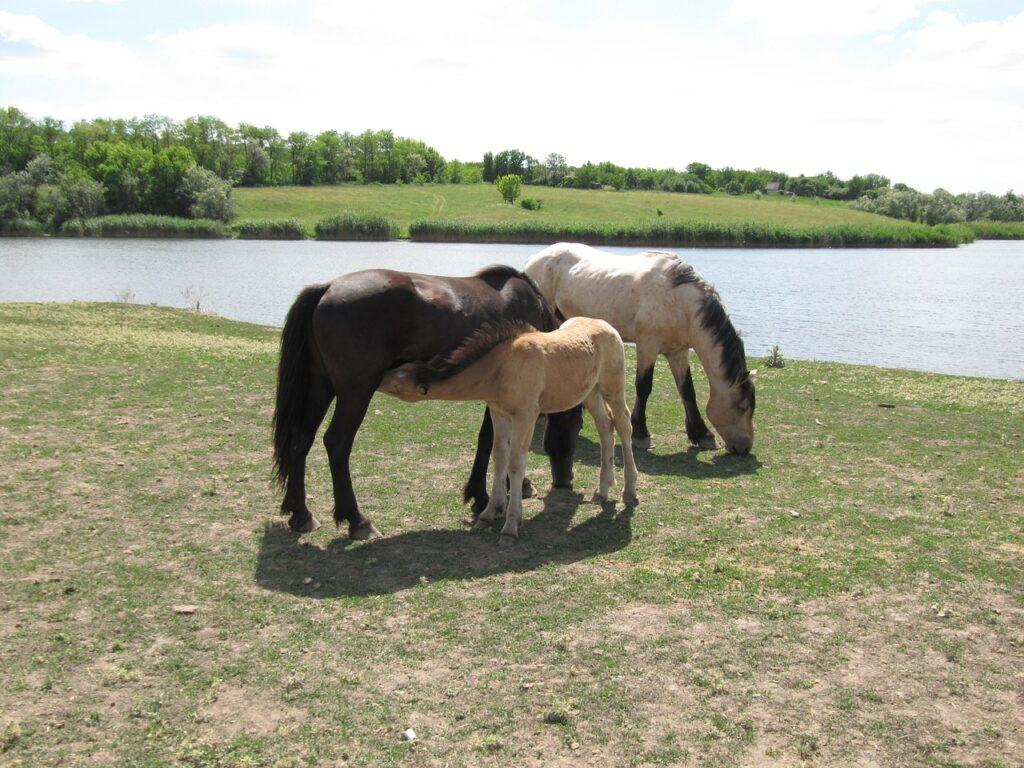 Stallions-Geldings