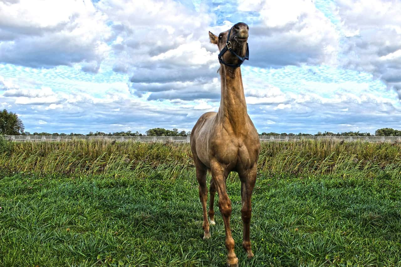 Quarter Horse VS Mustang: Differences & Questions Answered
