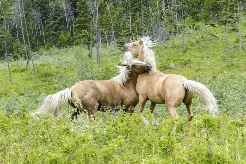 horses-fight