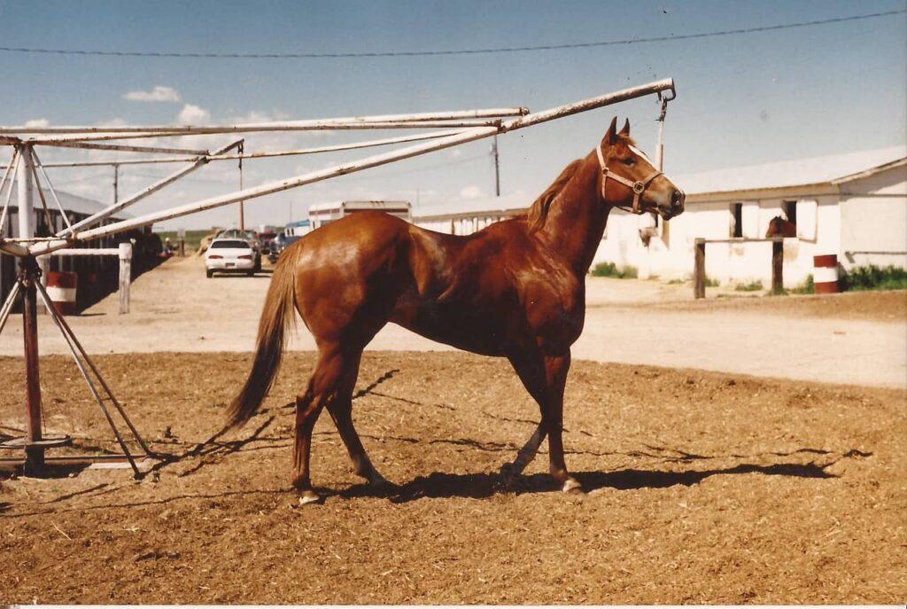 quarter-horse