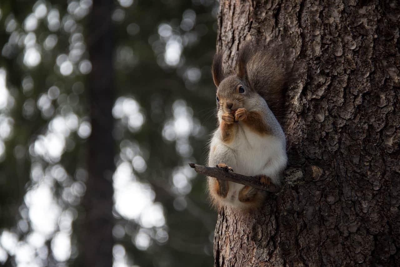 What Eats Squirrels?