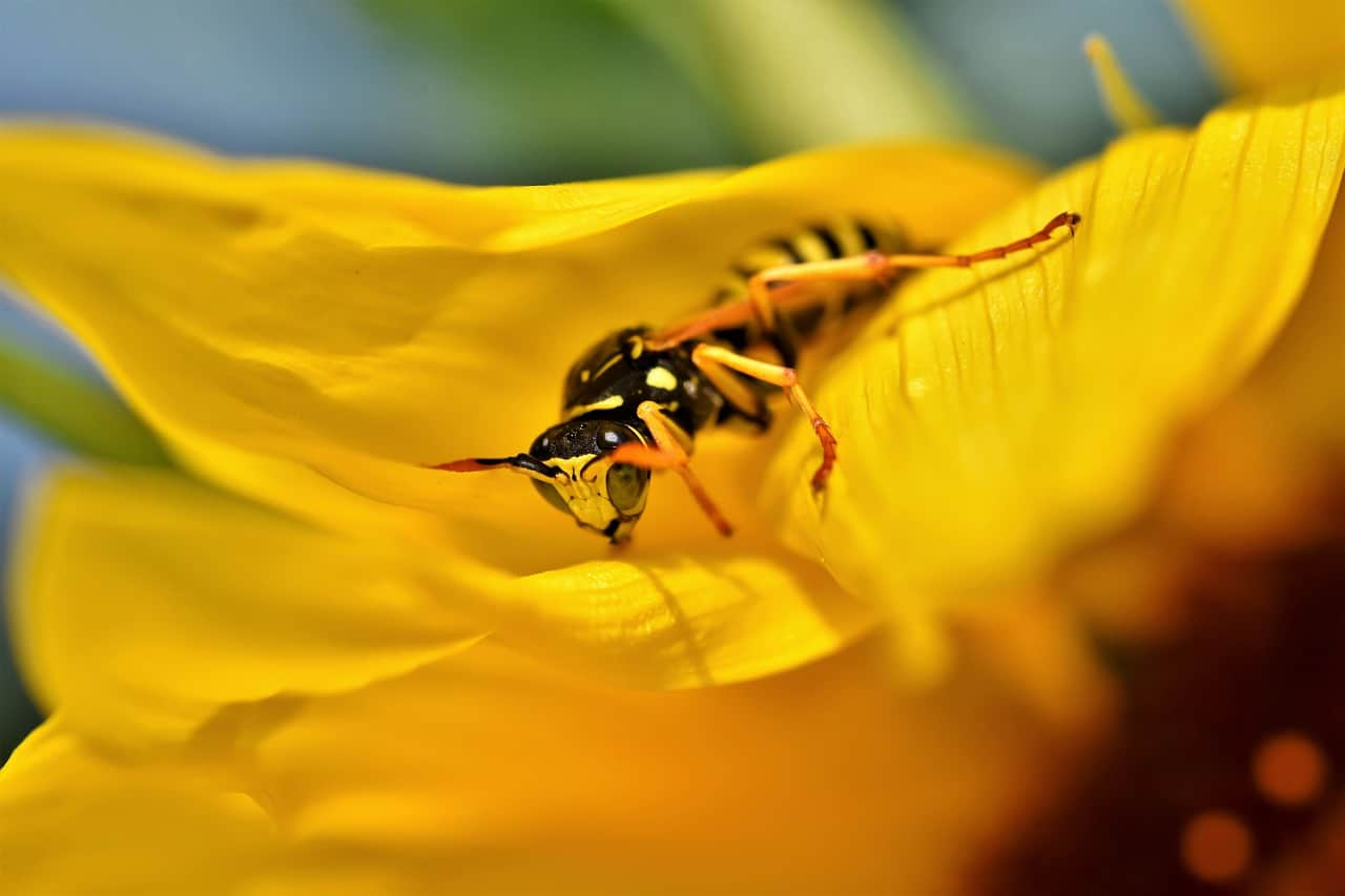 What Eats Wasps?
