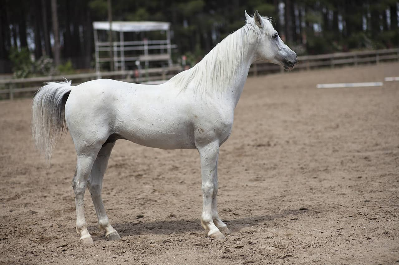 Are White Horses Rare? 8 Common Questions Answered!