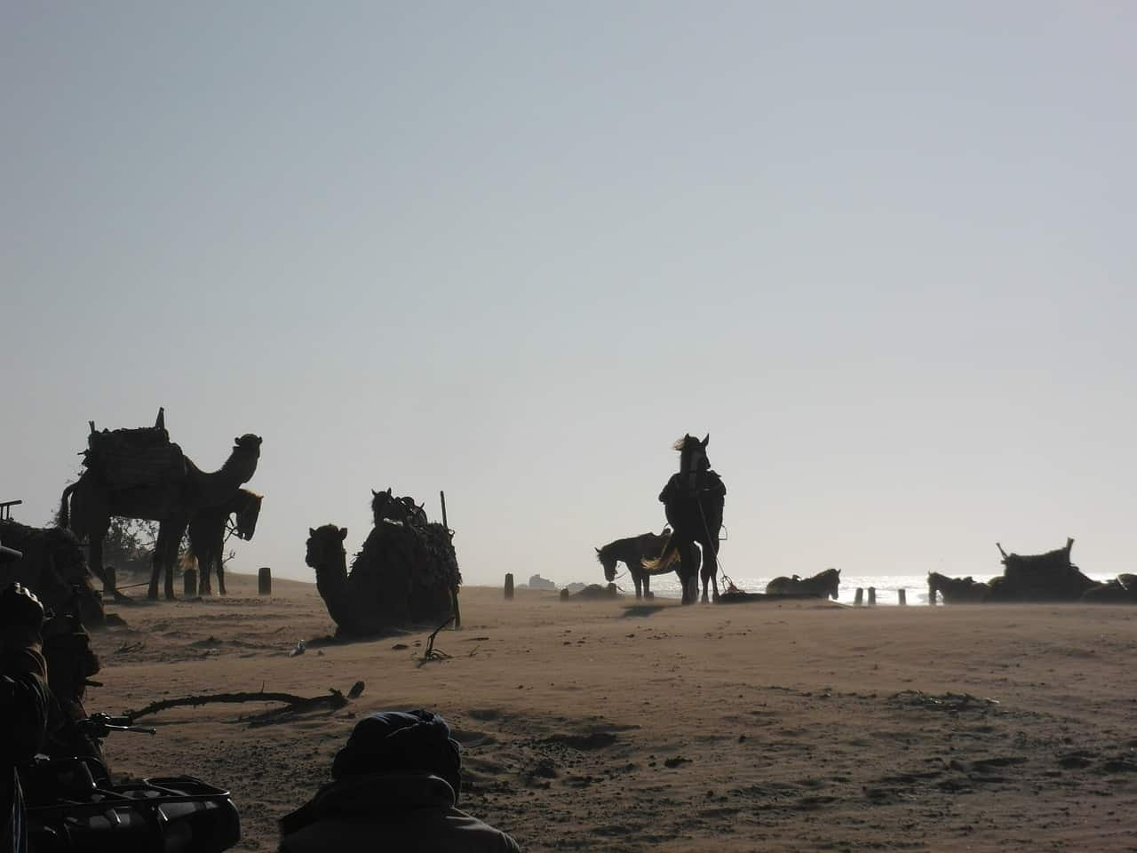 Are Horses Afraid Of Camels? No. Now Find Out Why