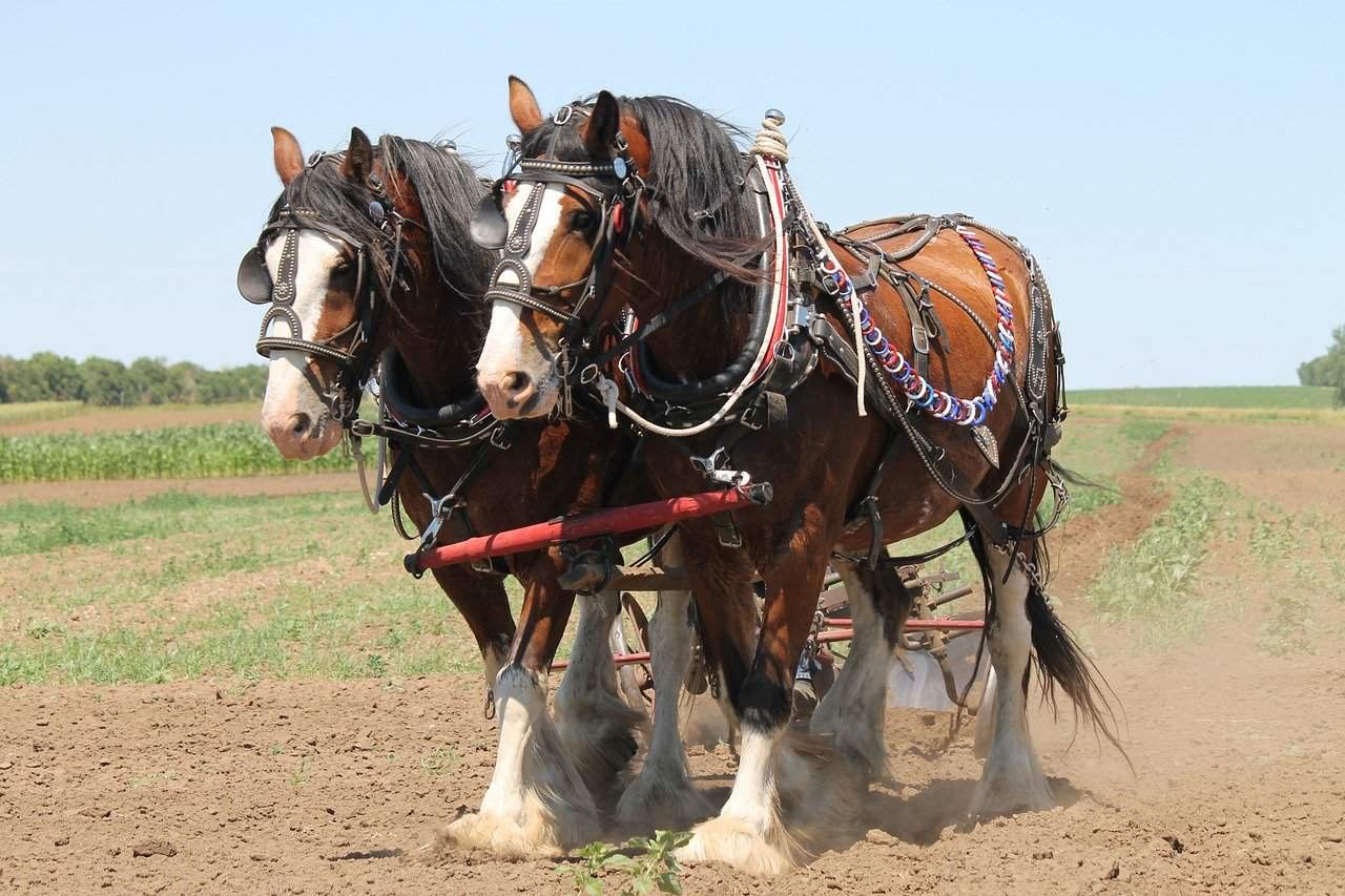 Are Clydesdale Horses Good For Beginners?