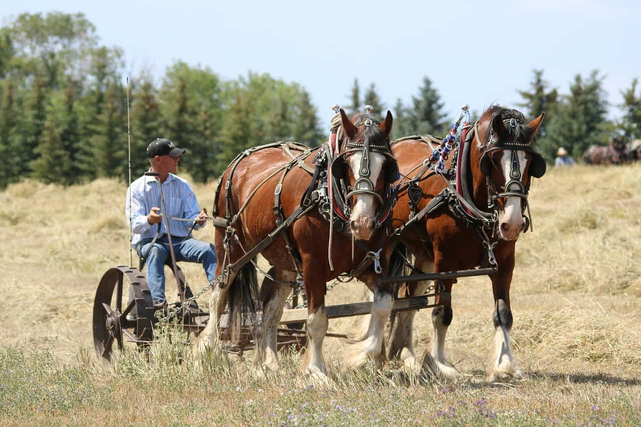 Clydesdale VS Quarter Horse: Differences & Questions Answered