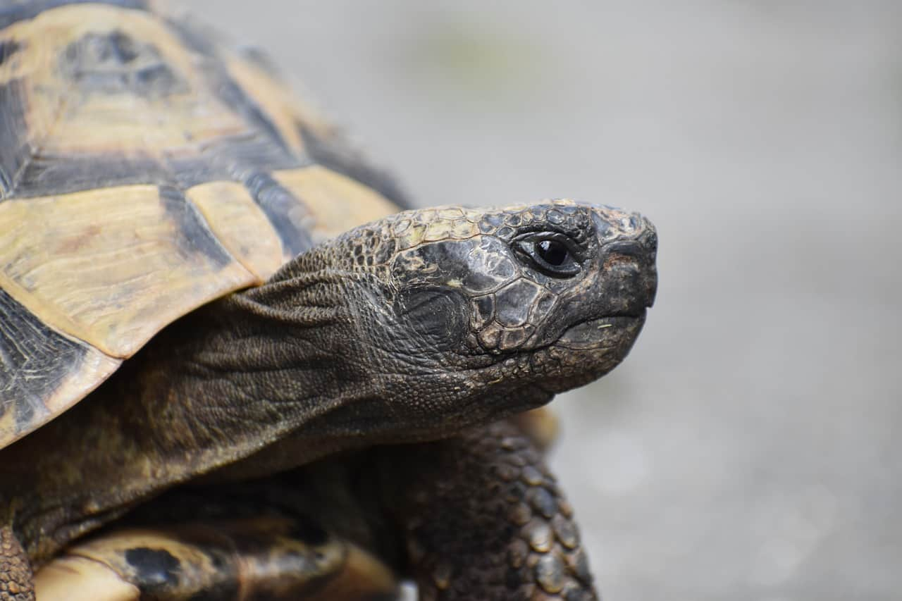 Do Tortoises Eat Meat (Or Just Plants?)
