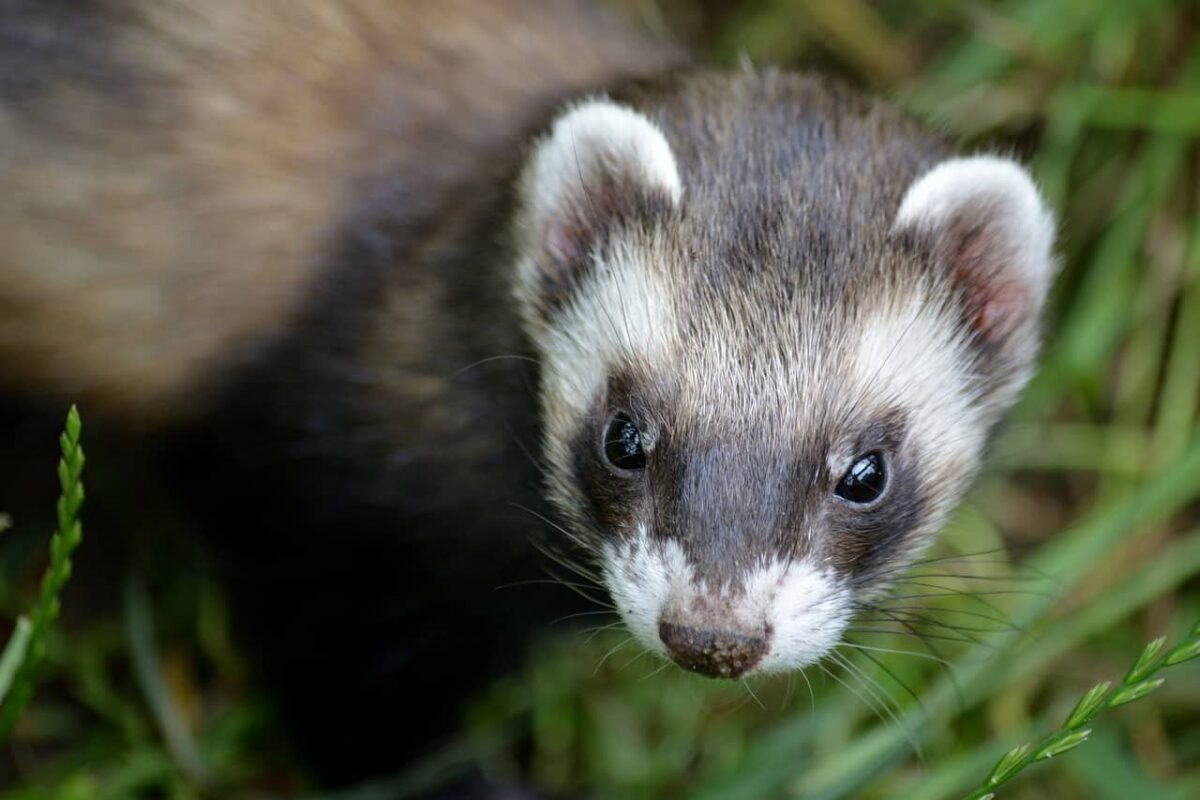 Ferret V.S. Mongoose: Differences & Questions Answered