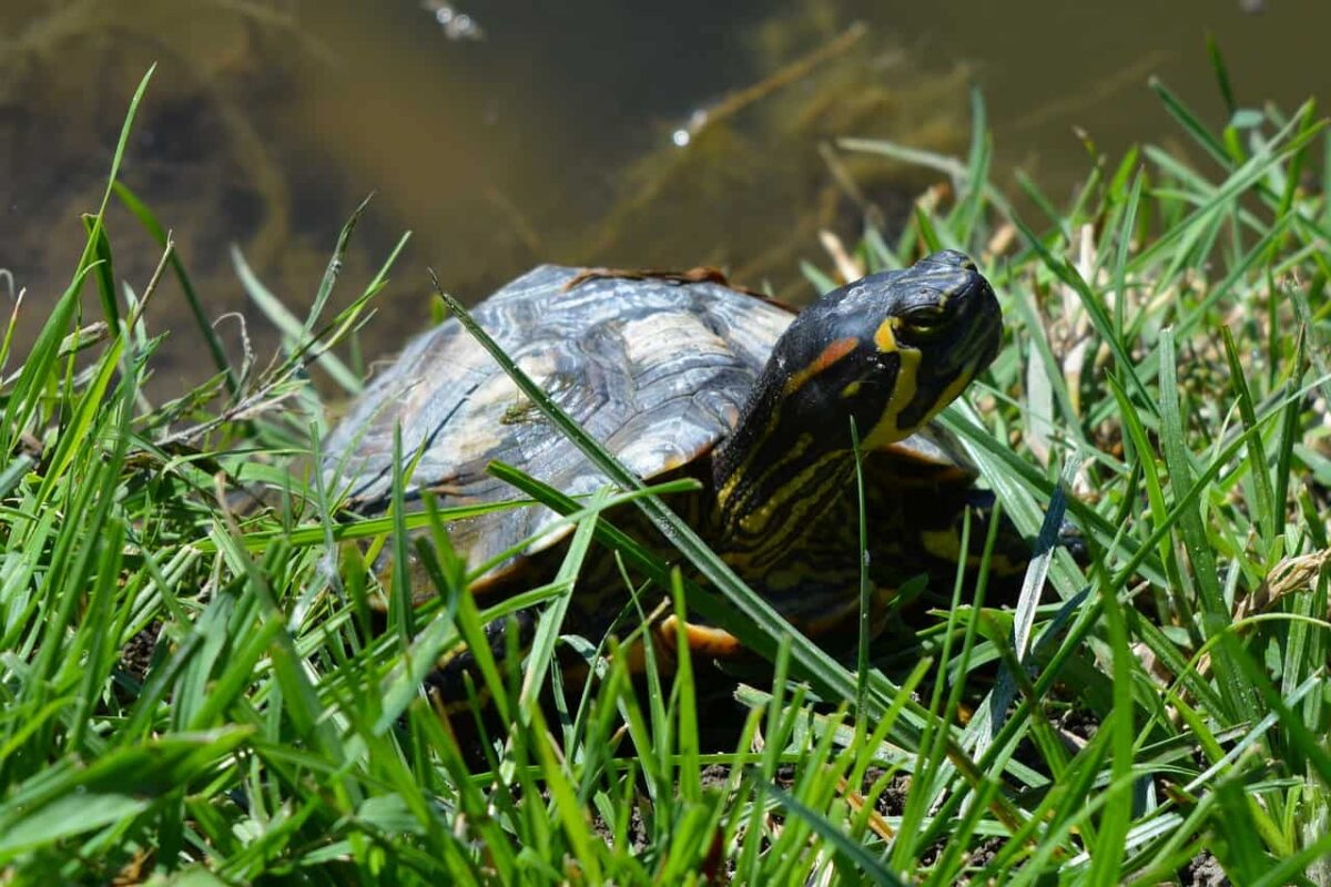 Are Turtles Or Frogs Better Pets?
