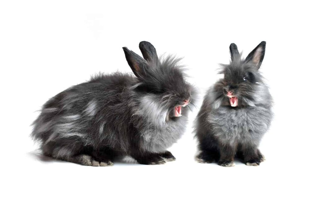 rabbit-yawn