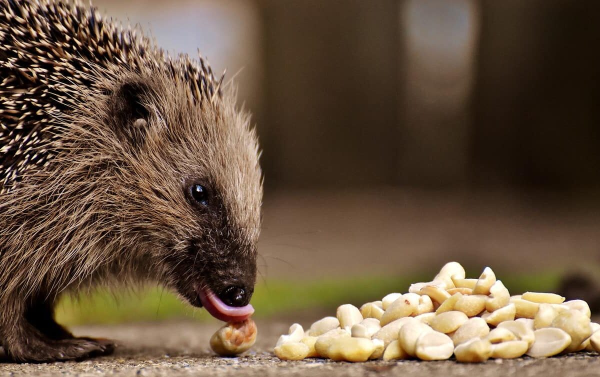 Hedgehog V.S. Guinea Pigs: Which Makes Better Pets?