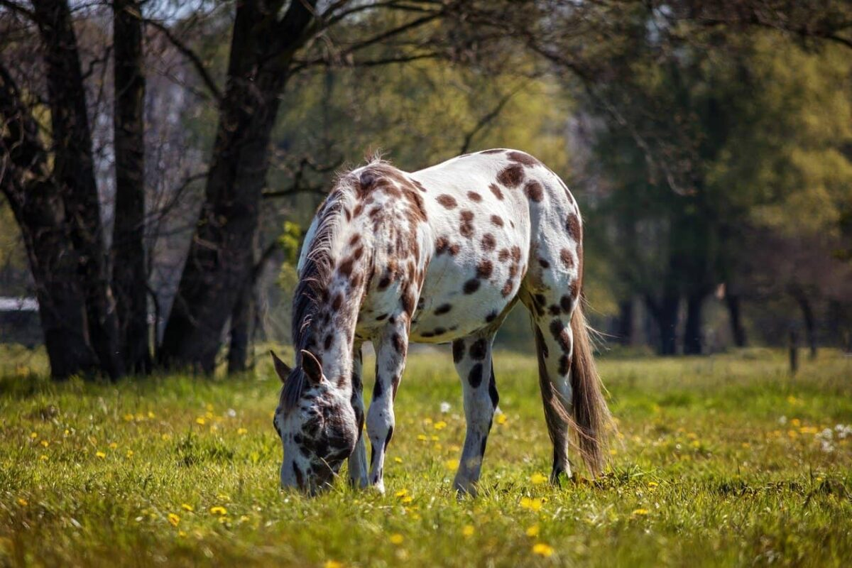 Appaloosa Horse VS Paint Horse: Differences & Questions Answered