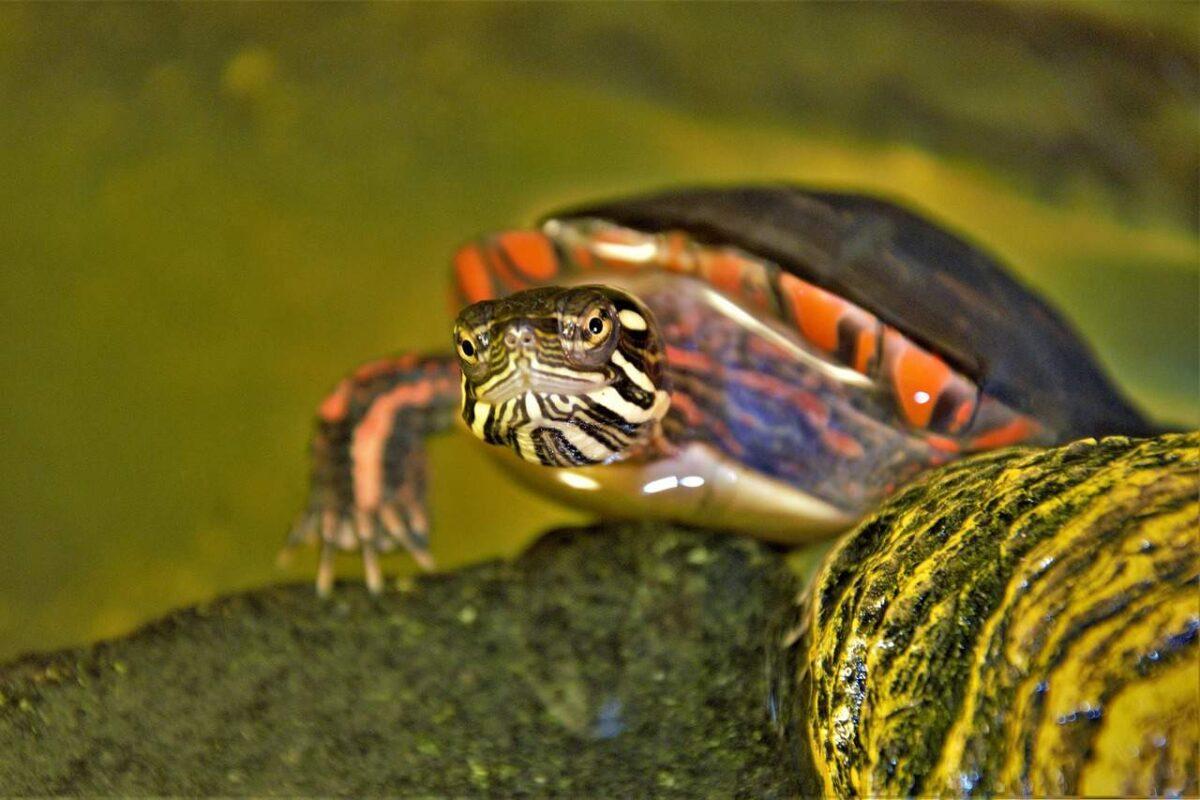 Can Turtles Climb Tanks, Trees, Walls, Stairs, Fences & Rocks?