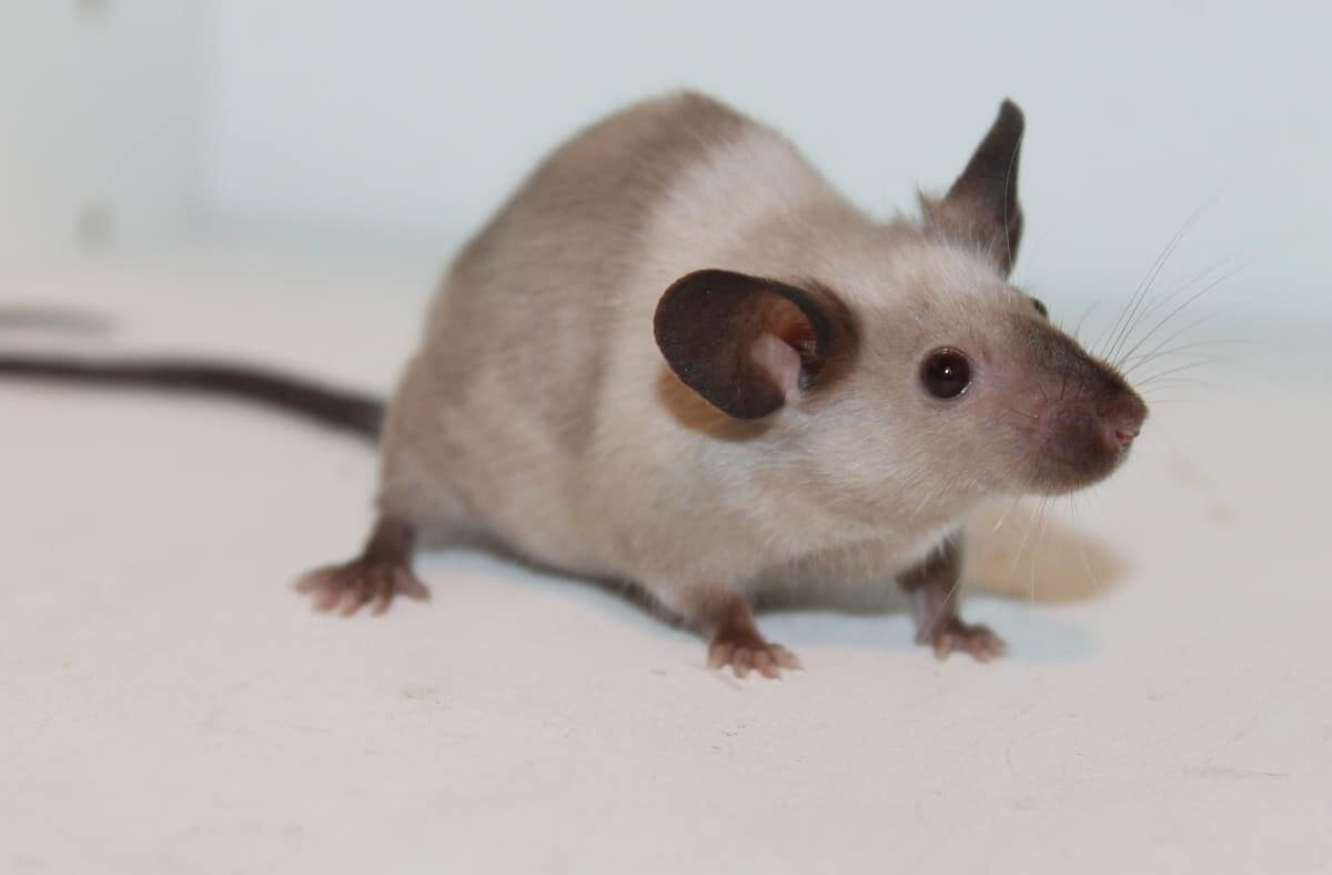 Are Rats Or Ferrets Better Pets? (Which Is The Best?)