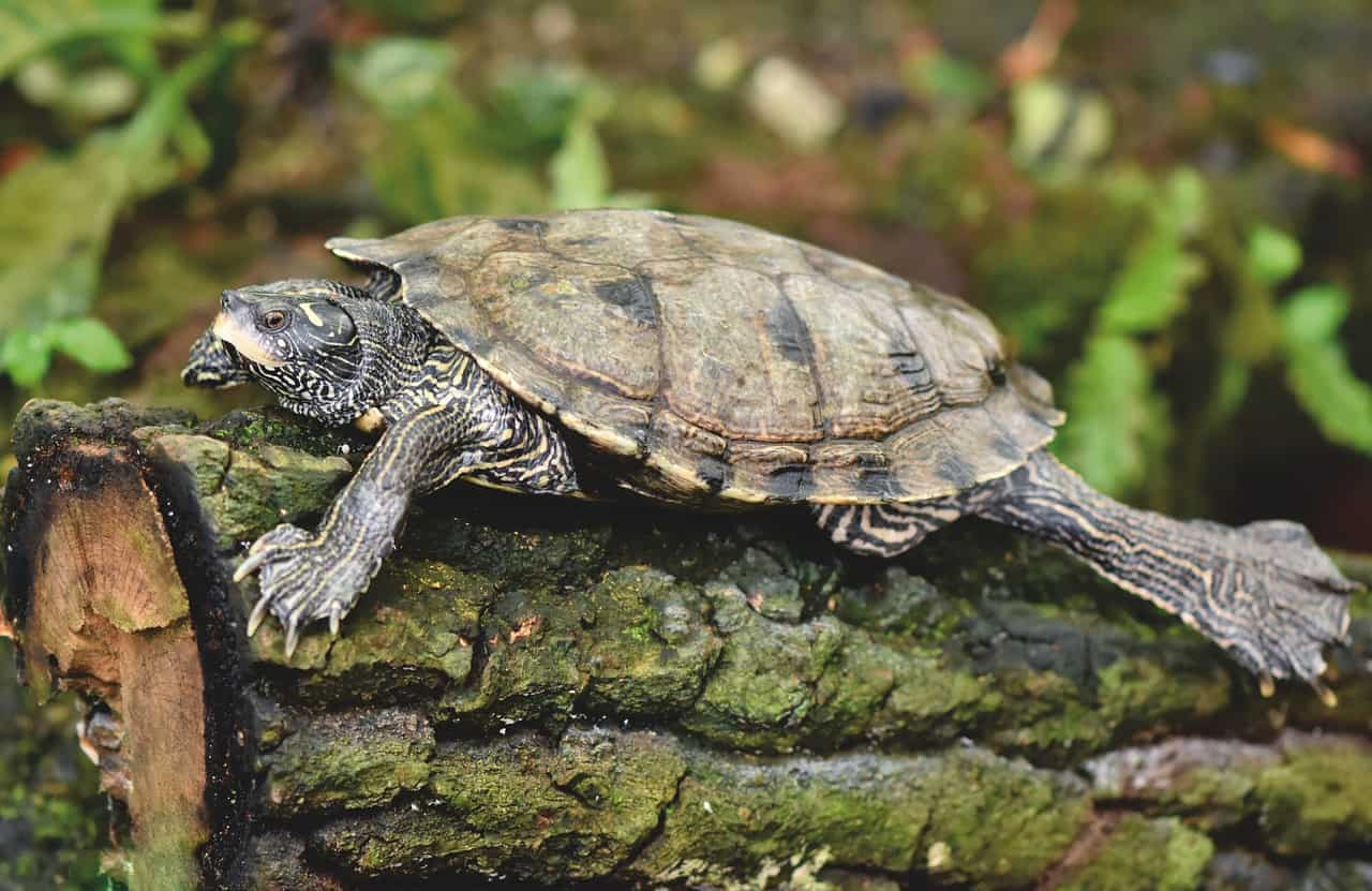 Do Tortoises Attract Rodents? (Will It Harm & Attack Them?)