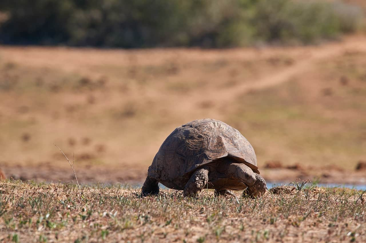 Can Tortoises Climb Stairs, Trees, Fences & Ramps?