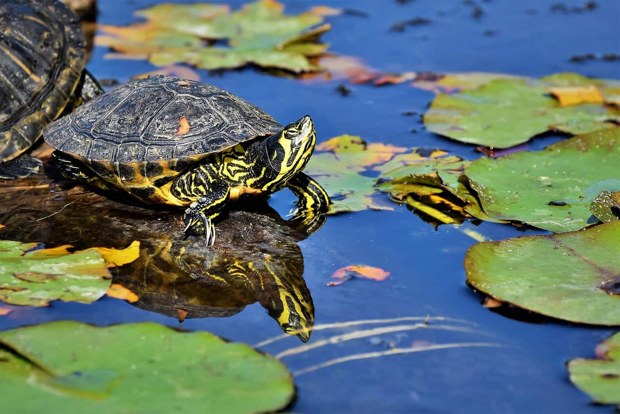 Do Turtles and Frogs Get Along? (Answered)
