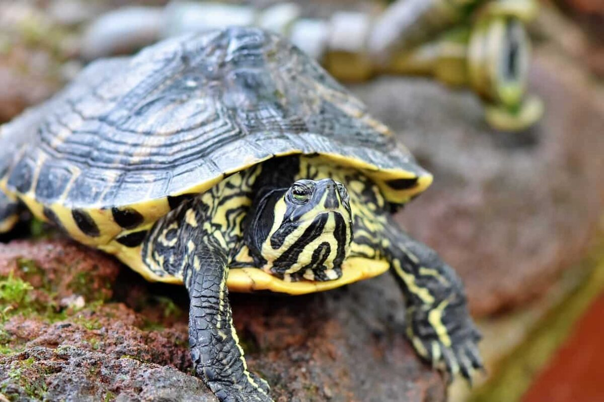 Can Turtles Drink Tap Water? (Is It Safe?)