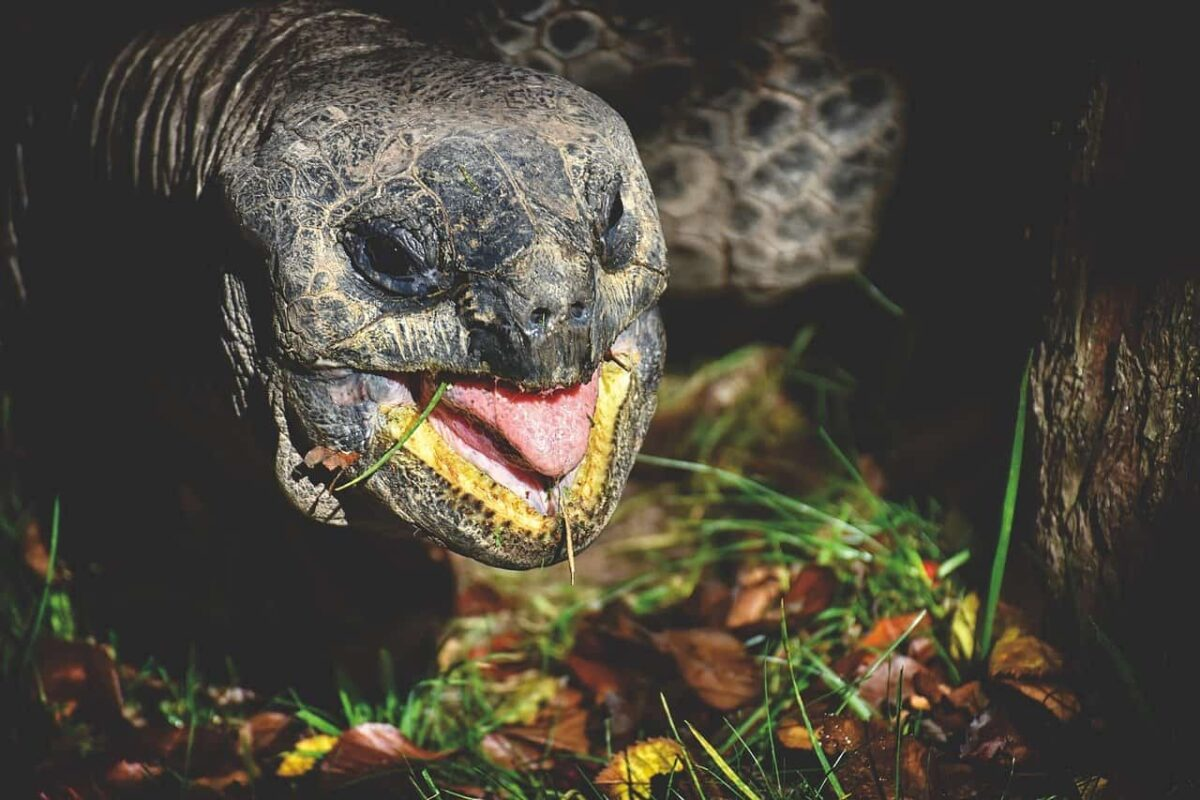 Do Tortoises Yawn? (Yes. Now Find out Why?)