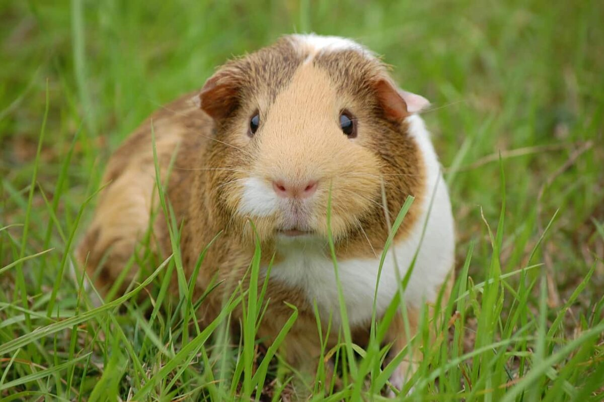 Guinea Pigs VS Cats: Which Make Better Pets?