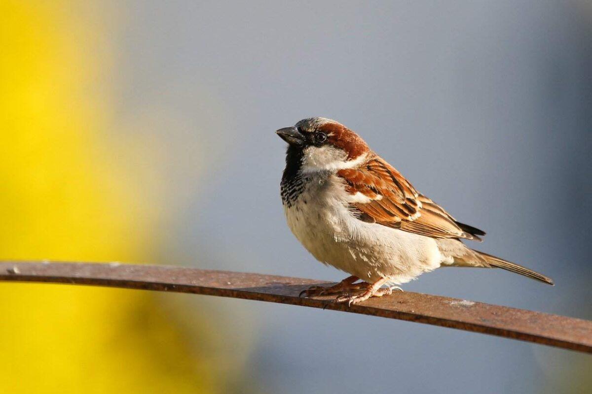 Sparrows As Pets: Do Sparrows Make Good Pets?