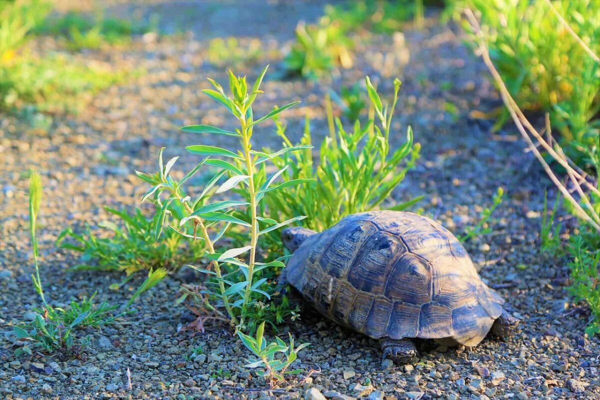 Do Tortoises & Guinea Pigs Get Along? (Answered)